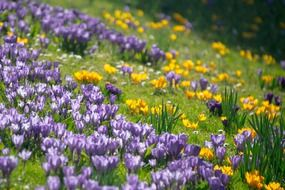 yellow and purple crocuses on a green hill