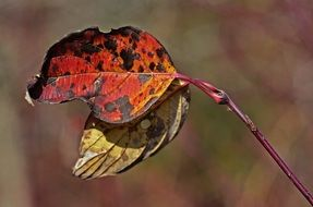 two autumn leaves on a branch close up