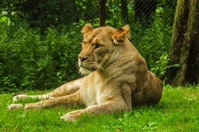 Lioness resting on lawn