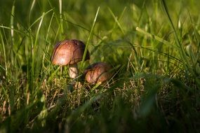 mushrooms in the green grass