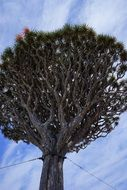 Dragon tree in Canary Islands
