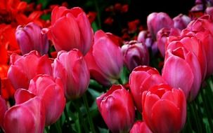 colorful tulips close-up