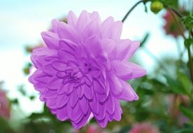 light purple dahlia close-up