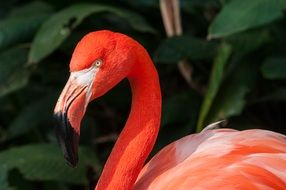 exotic pink flamingo with a long neck