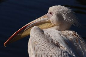 portrait of a great white pelican