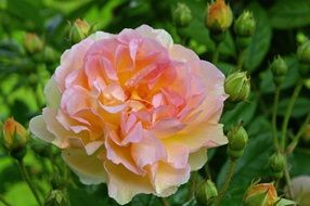 beautiful and delightful multi coloured rose