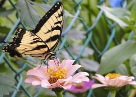 tiger swallowtail on the pink flower