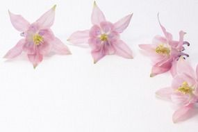 Pale pink flowers on a white background
