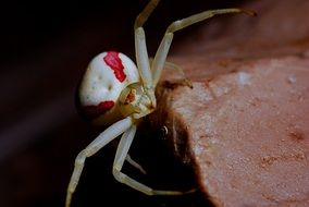 red and white crab spider macro