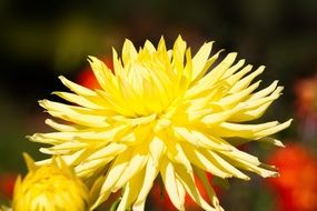 Yellow dahlia in the sunlight