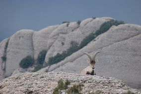 Ibex near the mountains in the Spain