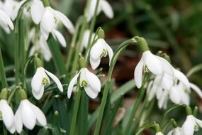 snowdrops are spring flowers