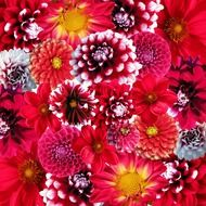Picture of dahlias flowers