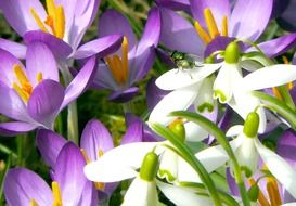 white and purple crocuses in the spring forest