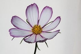 cosmos incomparable flower