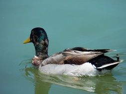 mallard duck swims in a wild pond
