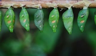 parides iphidamas larvae, green cocoons in row