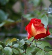 red rose in the shade of leaves
