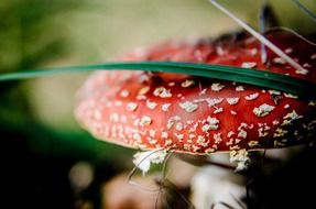 Red fly agaric in autumn