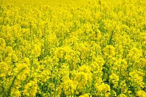 yellow field of rapeseeds