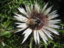 silver thistle and bee