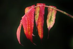rhus with colorful leaves