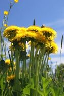 Yellow dandelions in a meadow