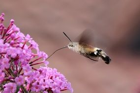Hummingbird hawk moth on a pink flower