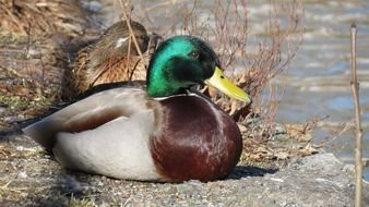 duck with green head on a sunny day
