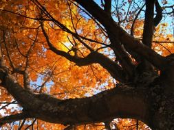 deciduous tree in golden autumn