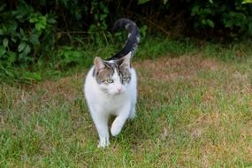 spotted domestic cat runs in the garden