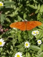 orange butterfly on chamomile