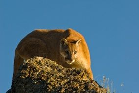 red puma on rock at blue sky
