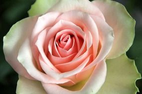 Pink and white rose flower