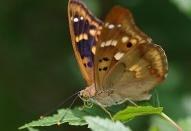 brown purple butterfly close