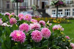 dahlias grow in a flowerbed