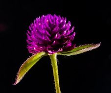 little purple flower at black background