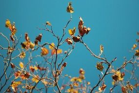 yellow leaves on branches and blue sky