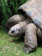 walking giant tortoise