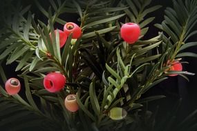 taxus is a genus of plants of the Tisov family