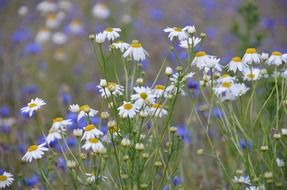 flower meadow with daisies and cornflowers