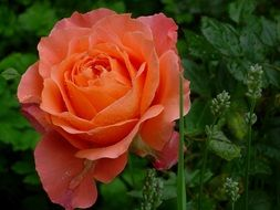 Orange rose flower blooming