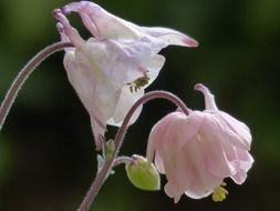 Flowering light pink columbine