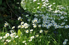 white daisies in the meadow in summer