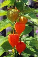 orange cape gooseberry