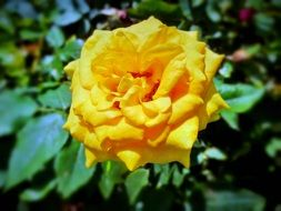 yellow rose flower blooming in the garden