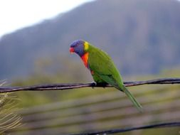 rainbow lorikeet, parrot perched wire