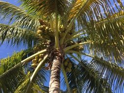 bottom view of palm trees with fruits