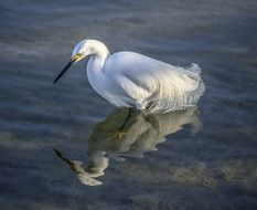 white heron stands still in clear water