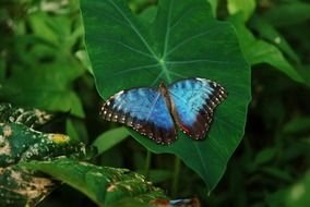 beautiful black and blue butterfly on a green leaf